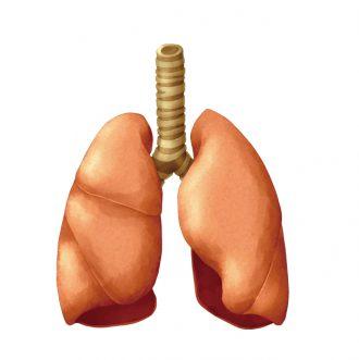 肺イラスト